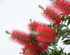 Bush flowers per i gonfiori addominali